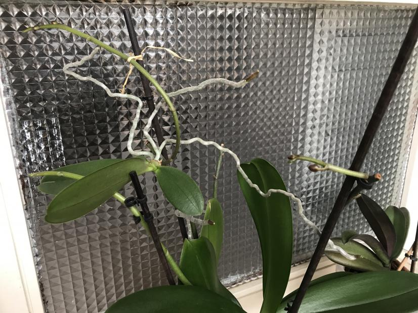 Phal first buds after 1 year-img_1310-jpg