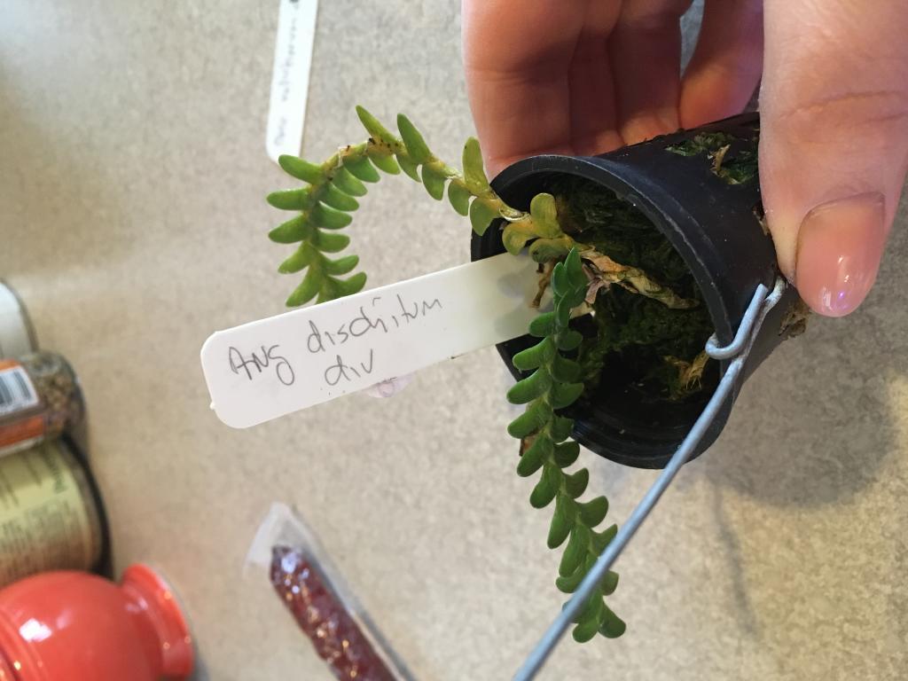 Angraecum distichum - success in rooting clippings?-img_7184-jpg