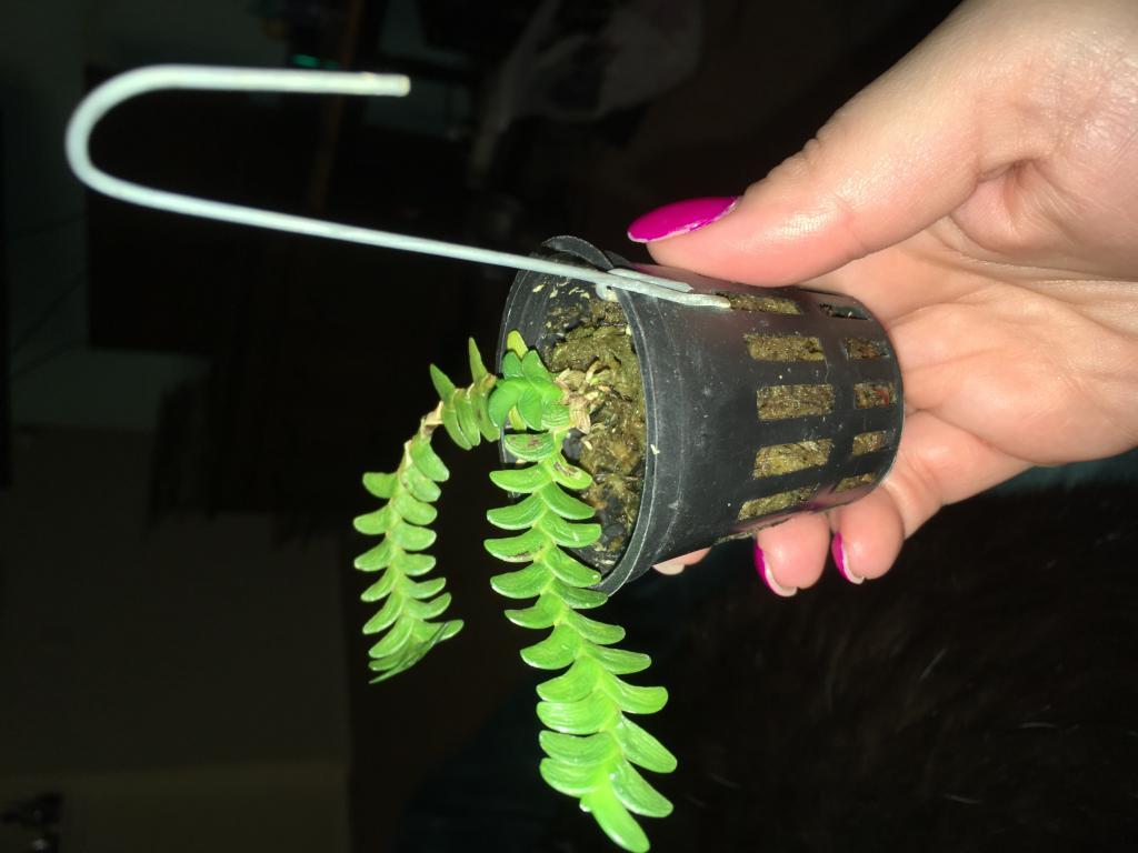 Angraecum distichum - success in rooting clippings?-img_8213-jpg
