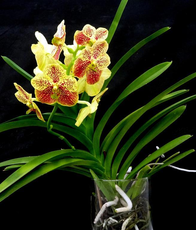 NoID Vanda-orchids-vanda-yellow-jpg