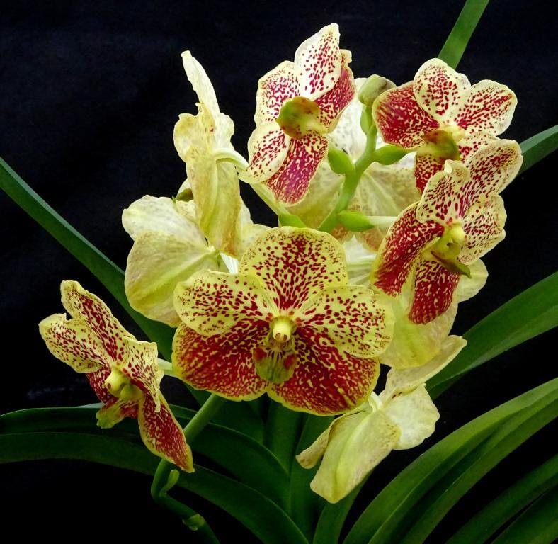NoID Vanda-orchids-vanda-yellow-003-jpg