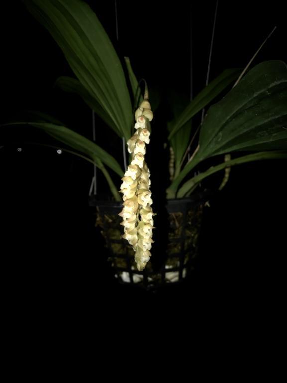 Pholidota Imbricata-img_4737-jpg