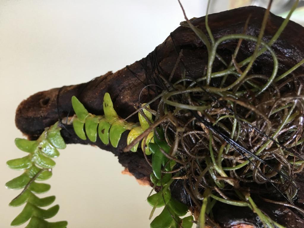 Angraecum distichum - success in rooting clippings?-img_8389-jpg