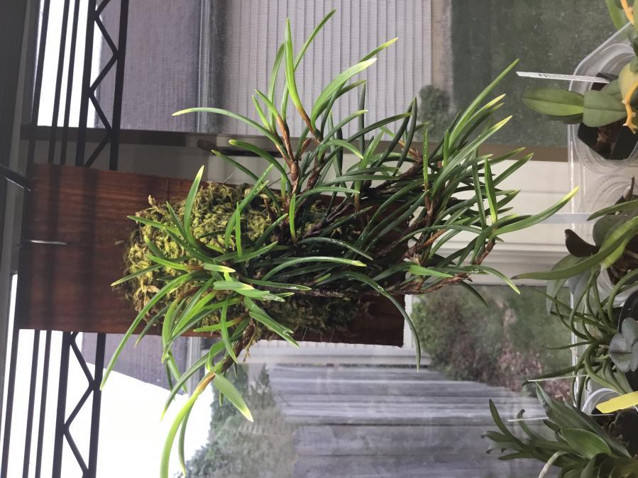 Maxillaria uncata-img_0261-jpg