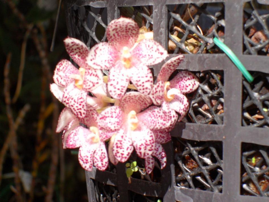 Bulbophyllum kubahense-bulb-kubahense-jpg