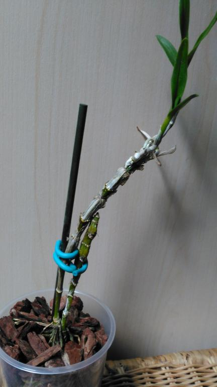 Is it possible to save this dendrobium?-r1-jpg