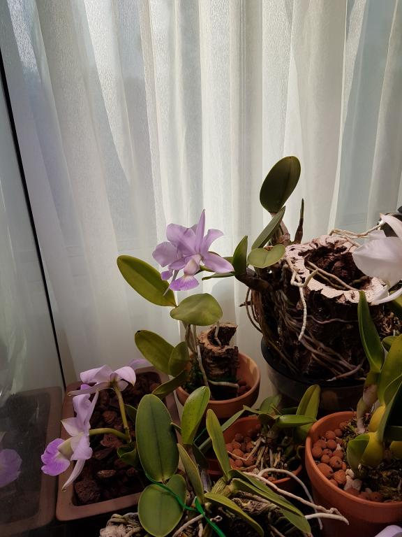 It bloomed on the other side-cattleya-walkeriana-coerulea-jpg