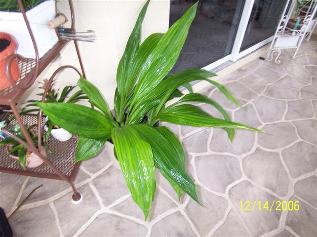 How 'bout in spike?-phaius-tankervillle-jpg