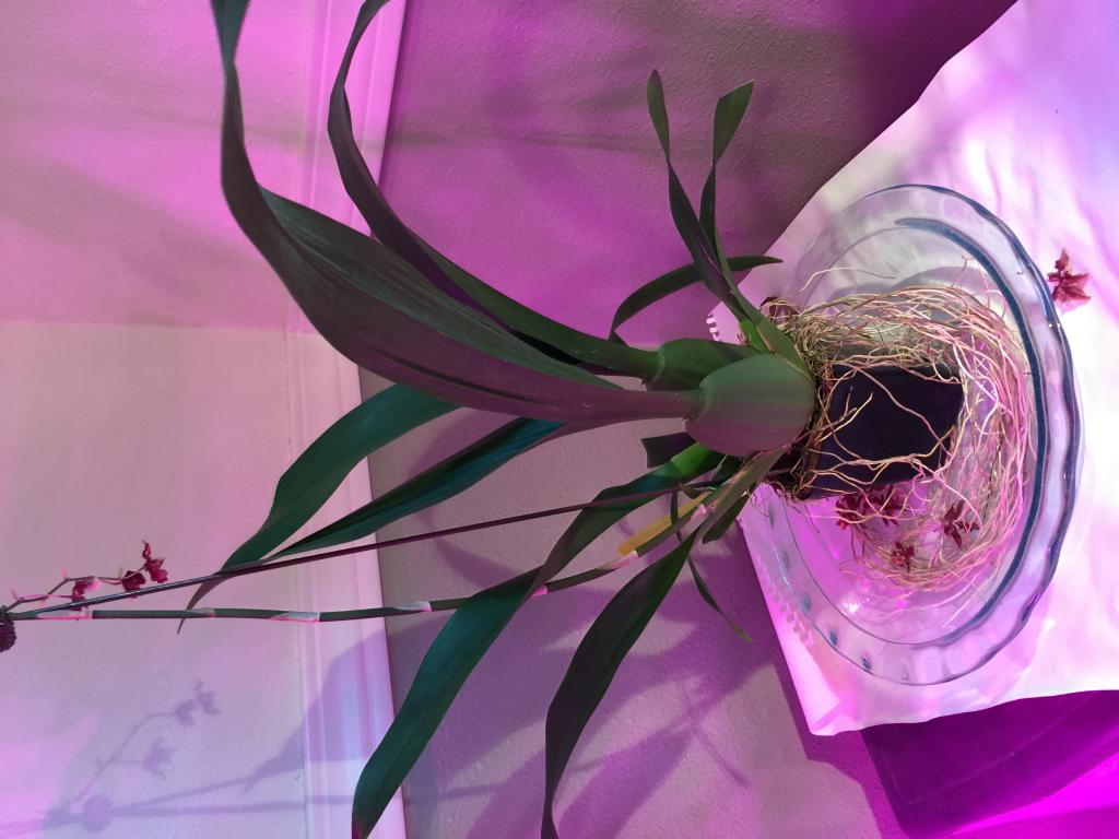 Repotting Oncidium Sharry Baby with lots of aerial roots-img_3803-jpg