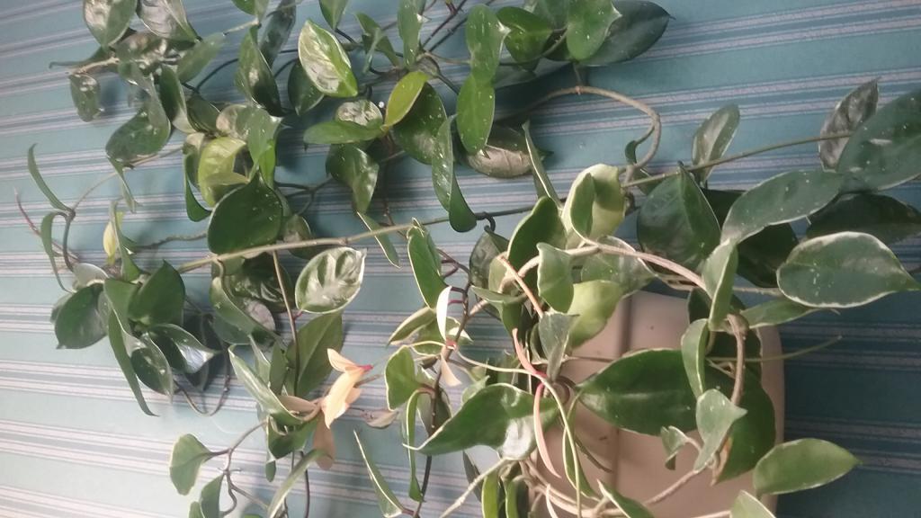 Hoya's-growing medium and fertlilzer?-15066135873811260748945-jpg