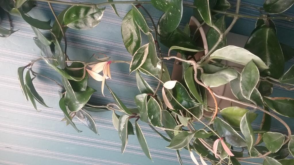 Hoya's-growing medium and fertlilzer?-1506613613216-1118061687-jpg
