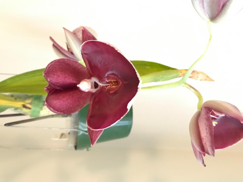 Catasetum pileatum var. imperiale-img_1536-jpg