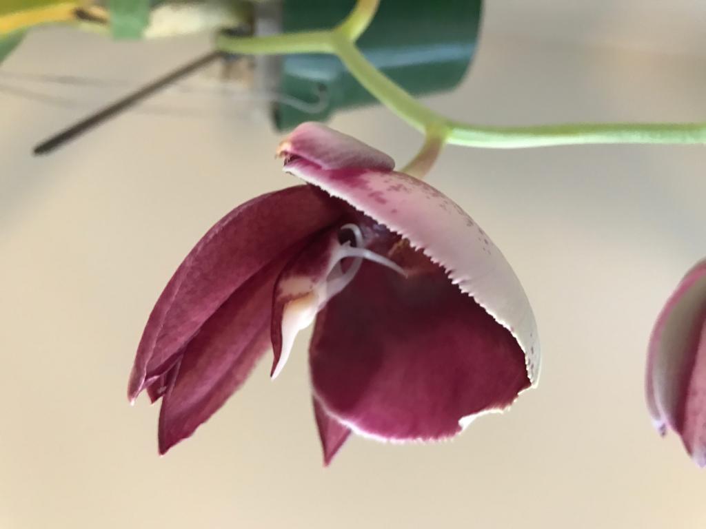 Catasetum pileatum var. imperiale-img_1537-jpg