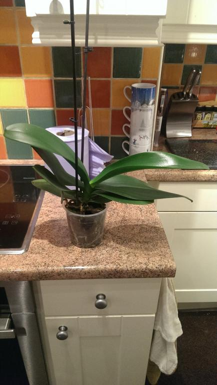 I think my Phal needs repotting - first orchid-imag0145-jpg