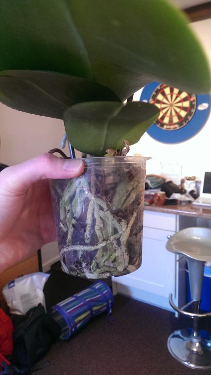 I think my Phal needs repotting - first orchid-imag0144-jpg