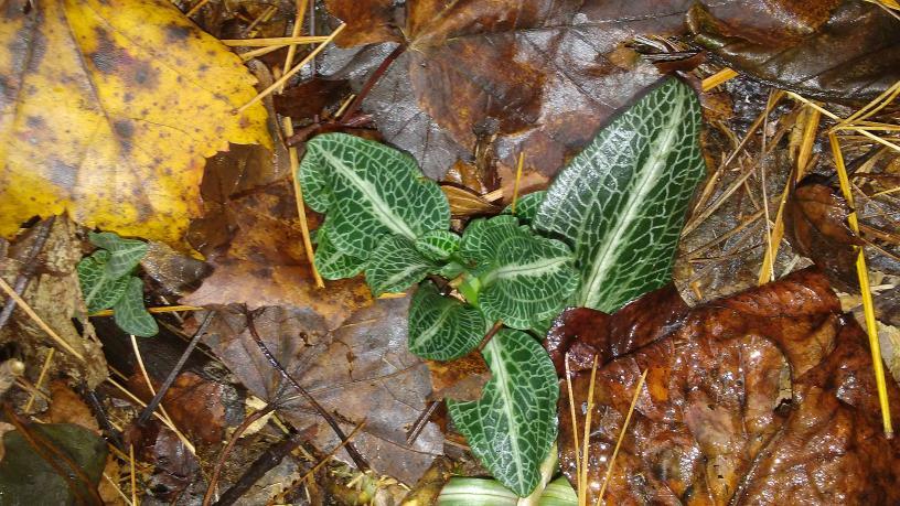 Goodyera pubescens-20171008_105624-jpg