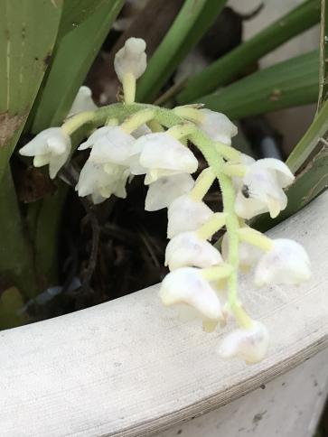 Eria hyacinthoides-45eb5c33-6659-45a1-99e3-adfc6084ebaa-jpg