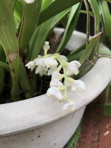 Eria hyacinthoides-5b4d1186-97e9-46be-8c6c-af601ab83716-jpg