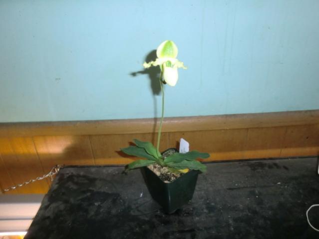 Paphiopedilum prumlinum-cimg1167-jpg