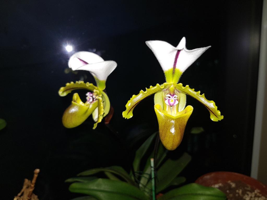 Paphiopedilum spicerianum-paph-spicerianum-1-jpg