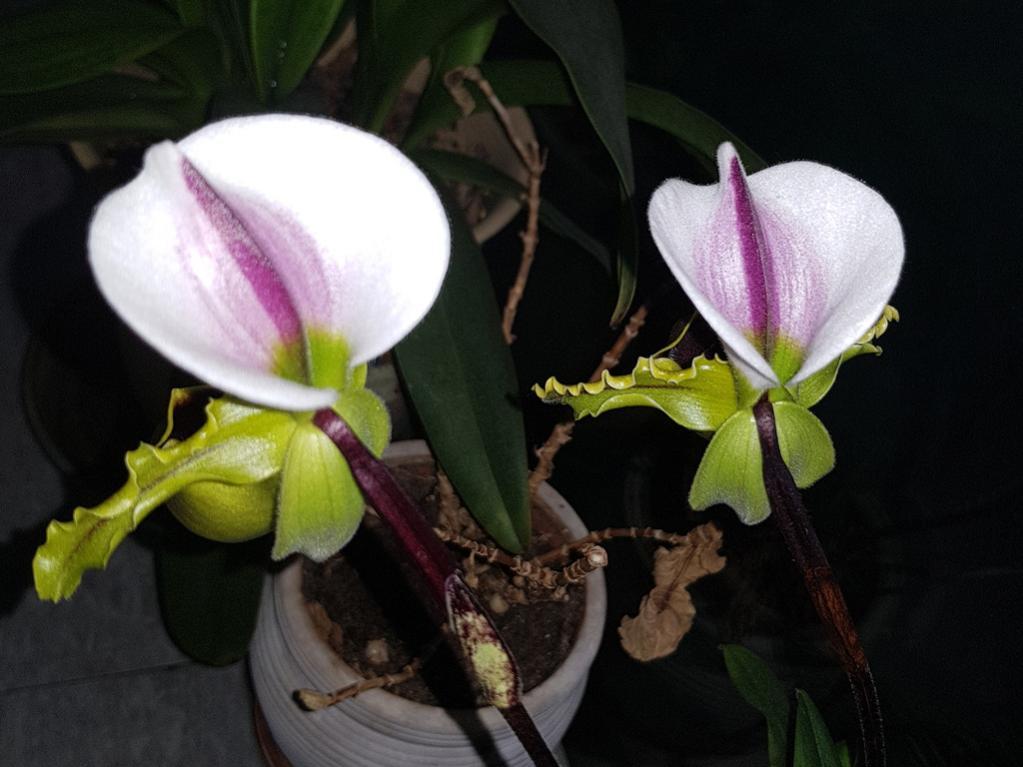 Paphiopedilum spicerianum-paph-spicerianum-3-jpg