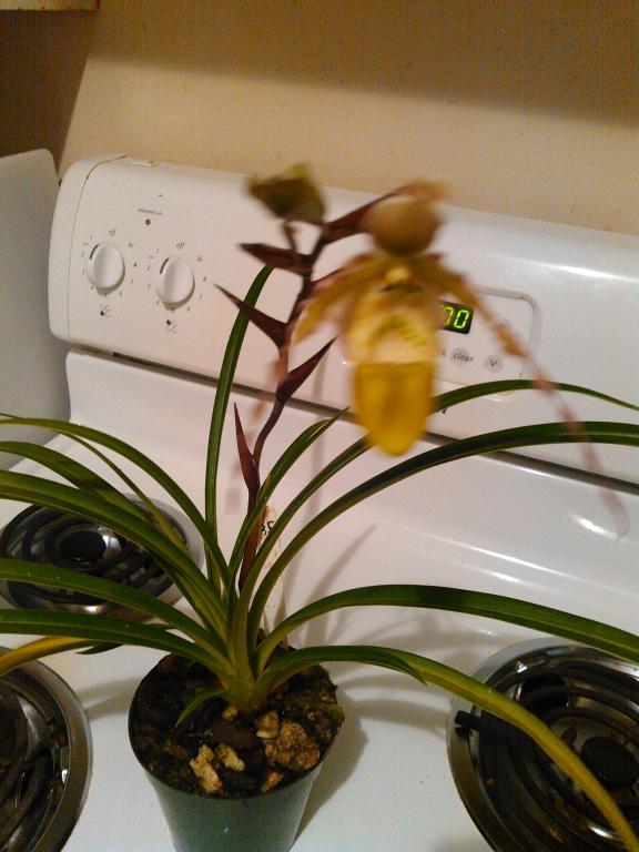 Help with Phragmipedium green hornet-kimg0318-jpg