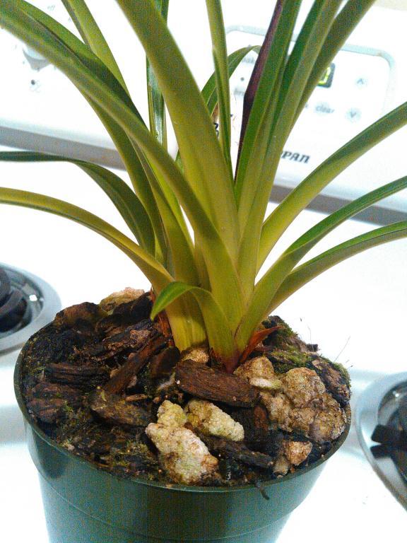 Help with Phragmipedium green hornet-kimg0320-jpg