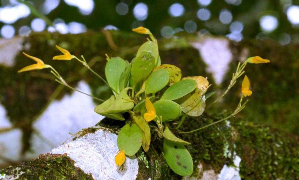Orchids around the Yard.-dsc01389-yellow-pleurothallis-sushare-jpg