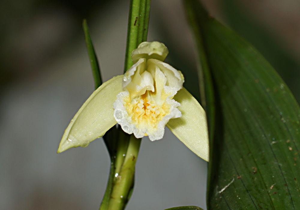 Orchids around the Yard.-dsc01311-sobralia-mucronata-blooming-unmarked-share-jpg