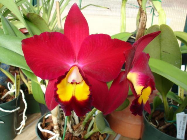 I LOVE CARMELA'S....-pot-hawaiian-prominence-america-1-jpg