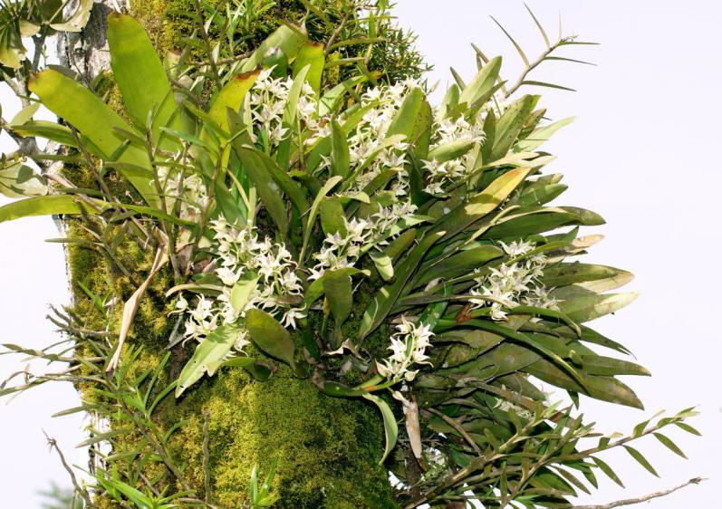Orchids near Arenal, Costa Rica-dsc01470-anacheilium-fragrans-situ-sushare-jpg