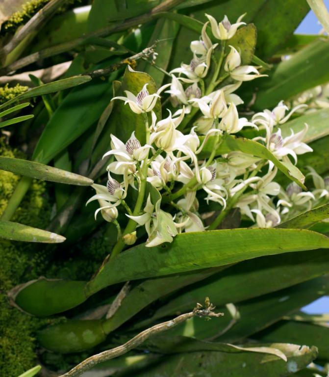 Orchids near Arenal, Costa Rica-dsc01473-anacheilium-fragrans-situ-sushare-jpg