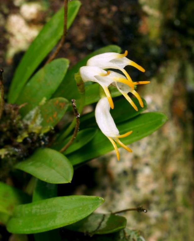Orchids near Arenal, Costa Rica-dsc01485-masdevallia-chontalensis-situ-sushare-jpg
