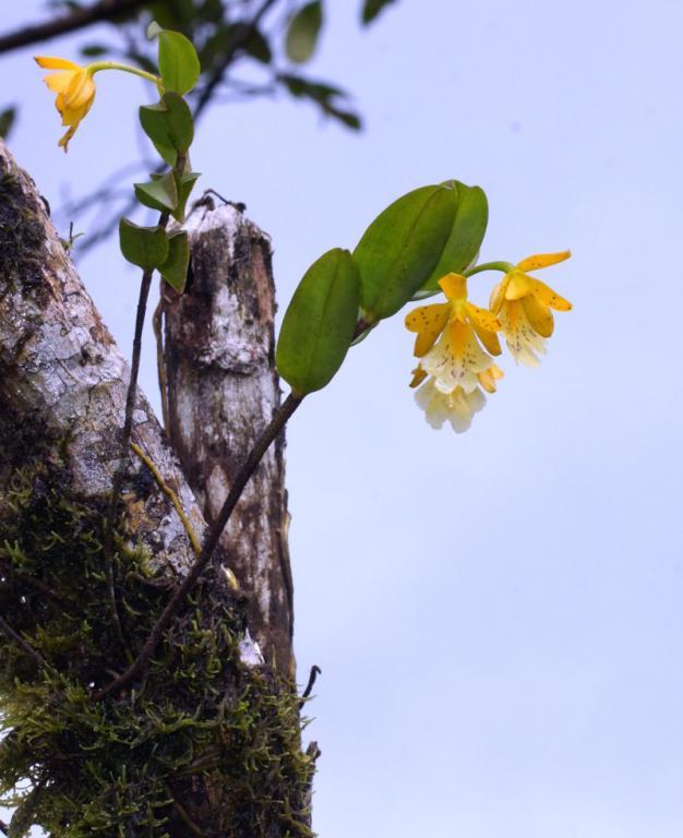 Orchids near Arenal, Costa Rica-dsc01488-oerstedella-wallisii-situ-sushare-jpg