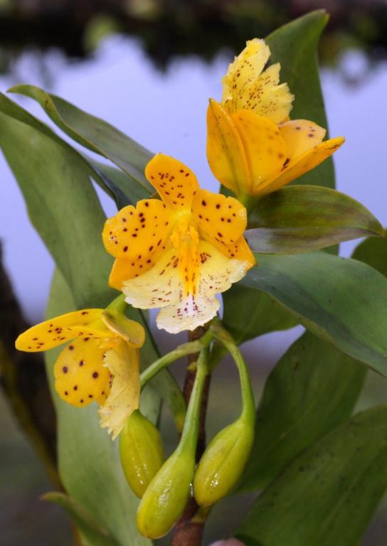 Orchids near Arenal, Costa Rica-dsc01497-oerstedella-wallisii-situ-sushare-jpg