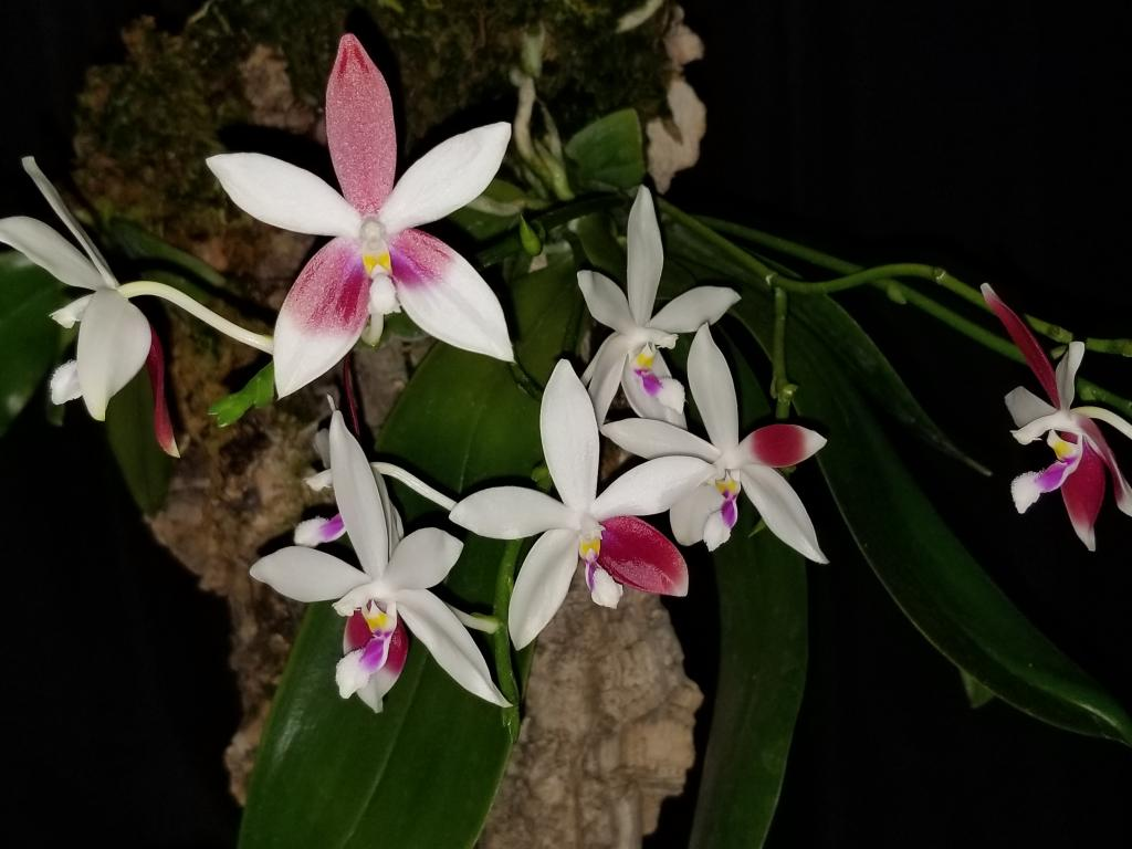 P speciosa var. christiana, 4th time blooming in 1 year!-20171113_220532-jpg