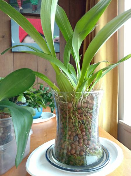 Repotting Oncidium Sharry Baby with lots of aerial roots-3-jpg