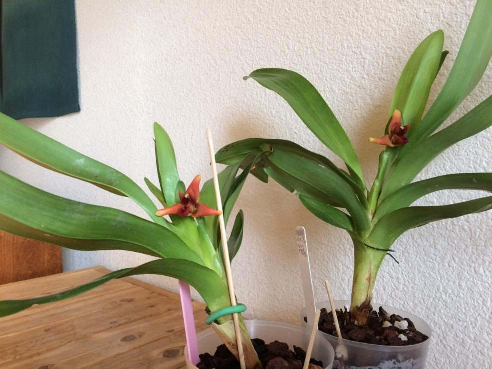 Maxillaria elatior-img_1241-jpg