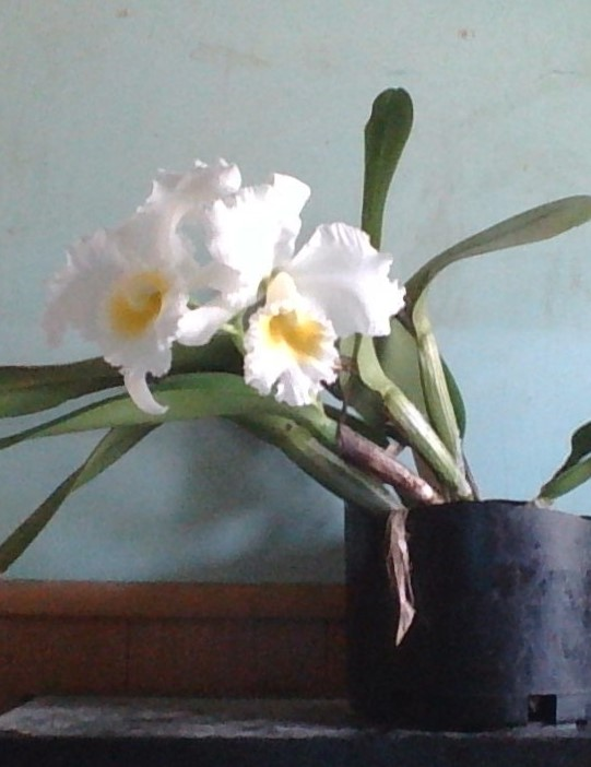 Cattleya Bob Betts in bloom!-win_20171203_13_51_32_pro-jpg