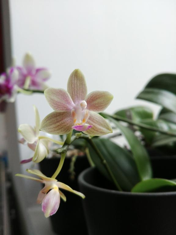 Phalaenopsis Kuntrarti Rarashati-20171205_105431-jpg