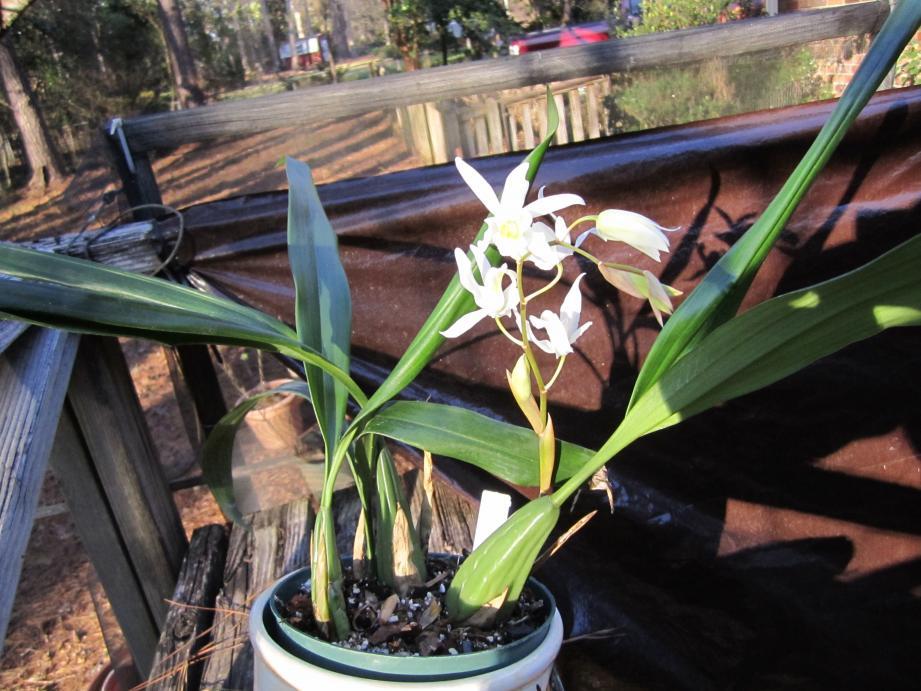 Surprising Coelogyne bloom (and identification needed)-img_0714-jpg