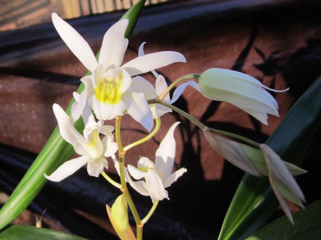 Surprising Coelogyne bloom (and identification needed)-img_0711crop1-jpg