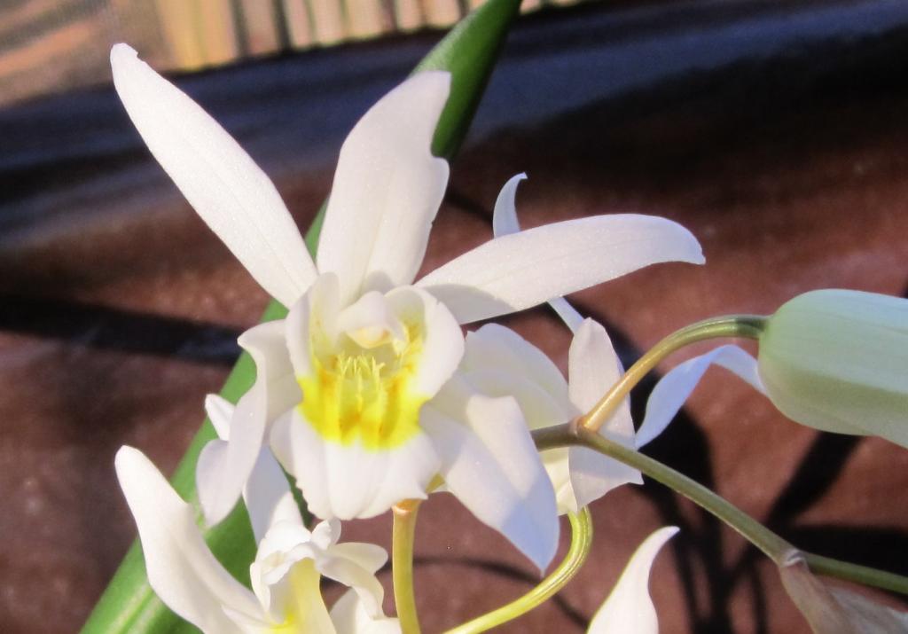 Surprising Coelogyne bloom (and identification needed)-img_0711crop2-jpg