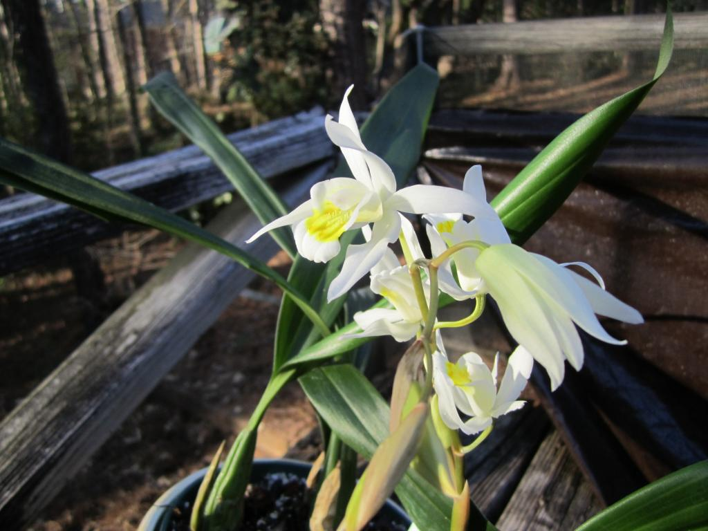 Surprising Coelogyne bloom (and identification needed)-img_0713-jpg
