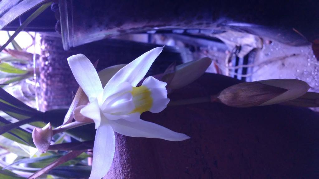 Surprising Coelogyne bloom (and identification needed)-20170124_151057-jpg
