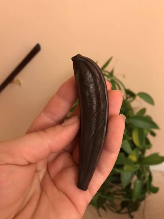 Vanilla Orchid produced a weird ?pod?-26230115_10156101104740972_4203049191977824070_n-jpg