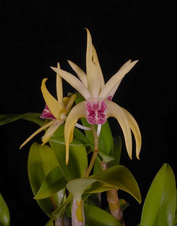 Dendrobium Hilda Poxon 'Red Lips'-aussie-den-flower-jpg
