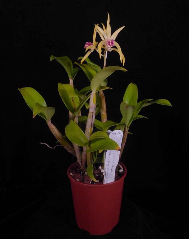 Dendrobium Hilda Poxon 'Red Lips'-aussie-den-plant-jpg