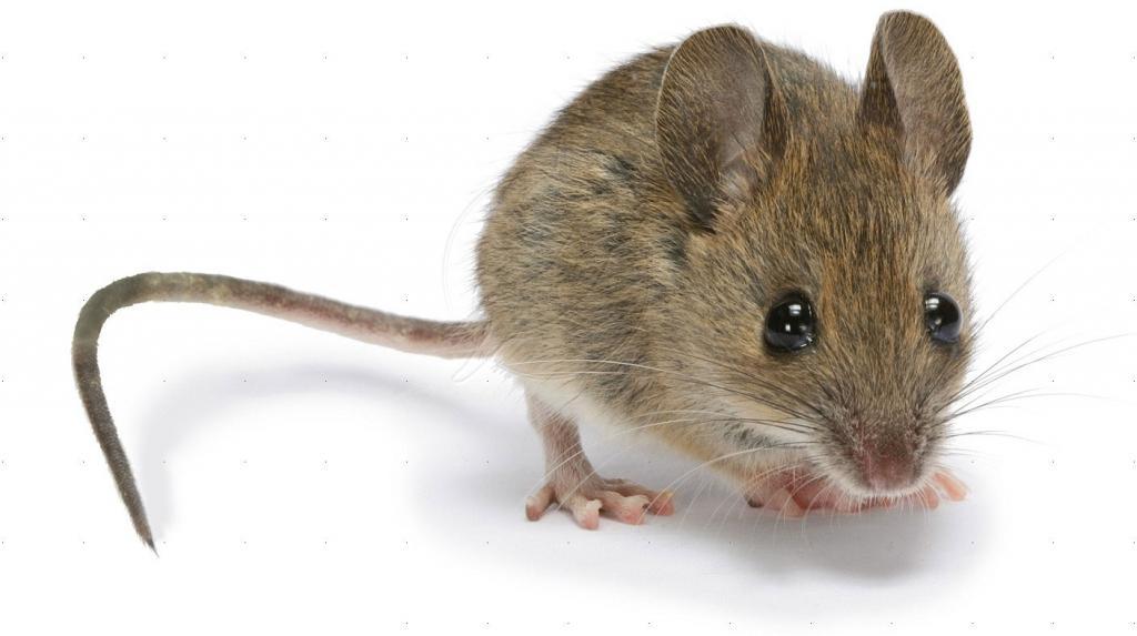 Cymbidium being eaten & / or blasting!-mouse-pest-control_0-jpg