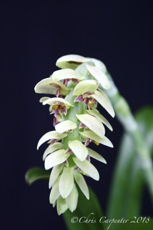 Bulbophyllum luteobracteatum-_mg_6295-jpg